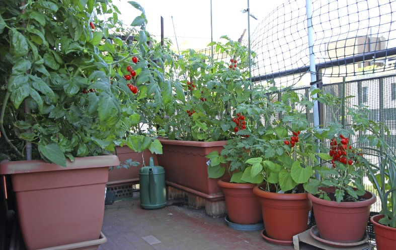 How to Grow Tomato Plants in Pots?