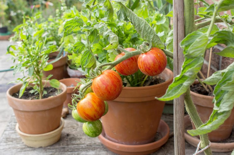 pots for tomato plants