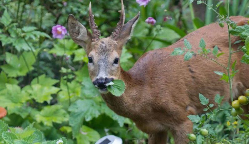 How to Make Homemade Deer Repellent?