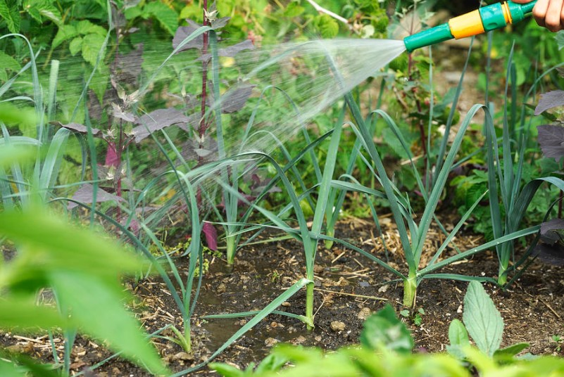 How Often Should You Water Vegetable Garden?